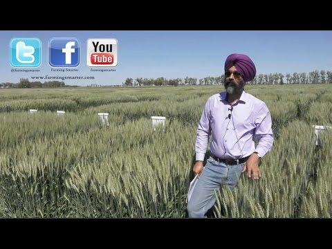 Breeding Spring Wheat with Dr. Harpinder Randhawa - Farming Smarter