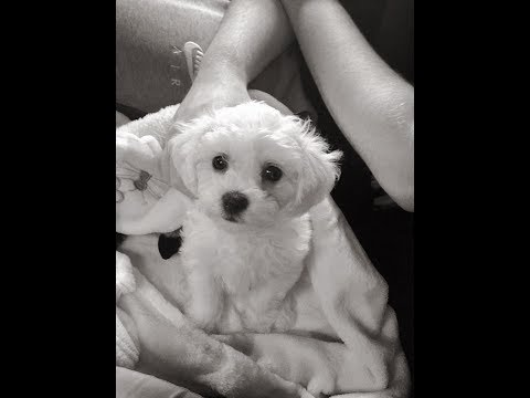 Bichon Frise - A Puppy Story: Lilly Meets Daisy!