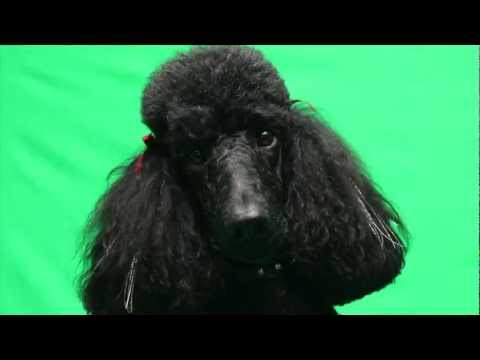 Stunning Standard Poodle Callie shows off her Well-Groomed Style for Talent Hounds