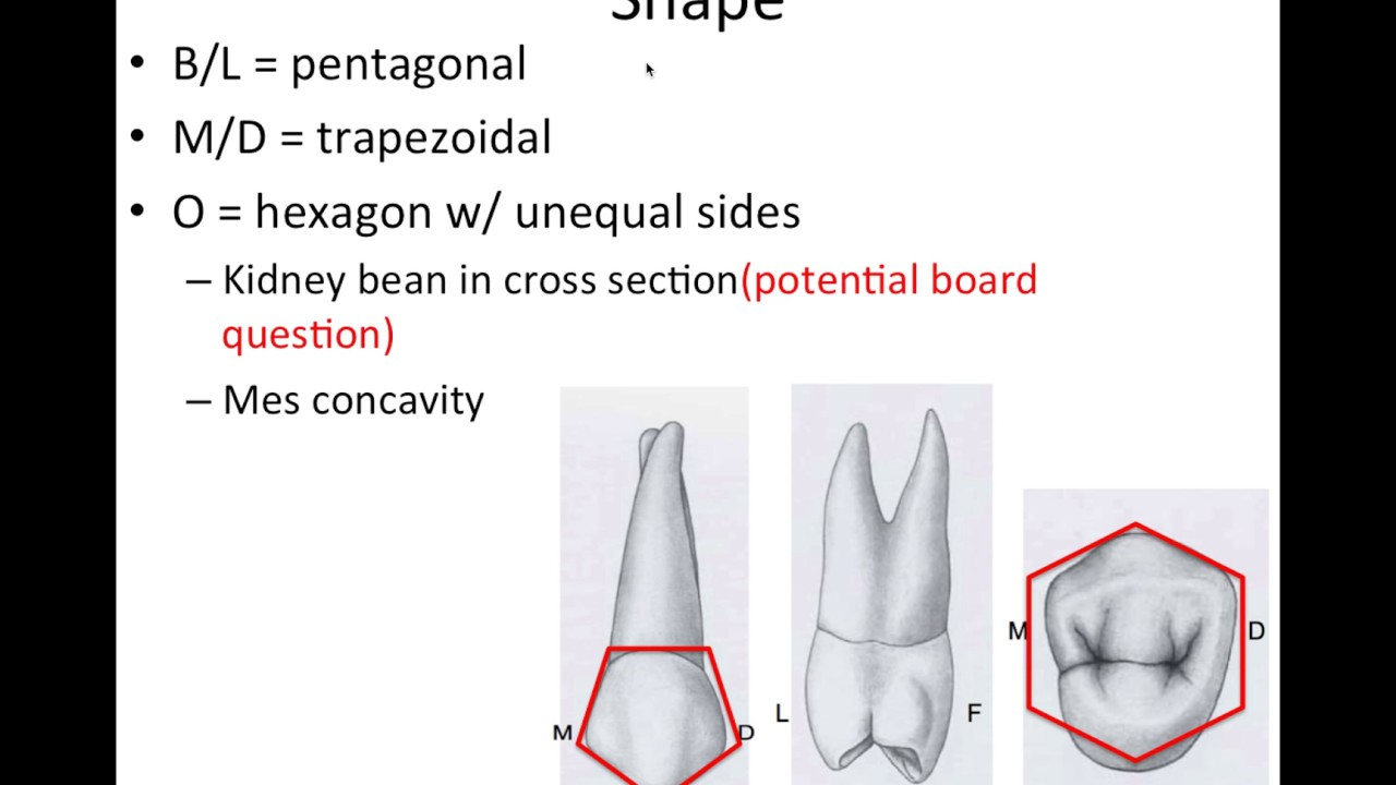 8 Maxillary Premolars - NBDE Part 1 Boards Study - YouTube