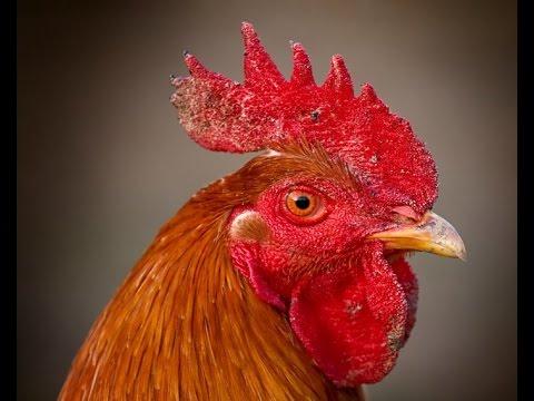 COCK- ROOSTER- INTERESTING BIRD TO KIDS-NURSERY CHILDREN
