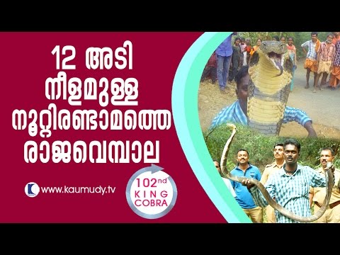 12 foot-long King Cobra, the 102nd catch of Vava Suresh | Snake Master EP #237 | Kaumudy TV