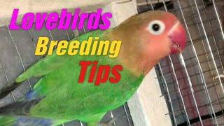 LOVEBIRDS KI BREEDING TIPS | BREEDING TIPS FOR FISHER & LATINO| IN URDU / HINDI        20 MAY 2017