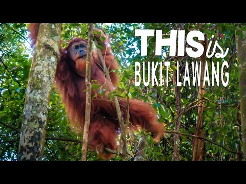 Jungle Fun in Indonesia  - Elephants, Orangutans, Monkeys, Oh my!
