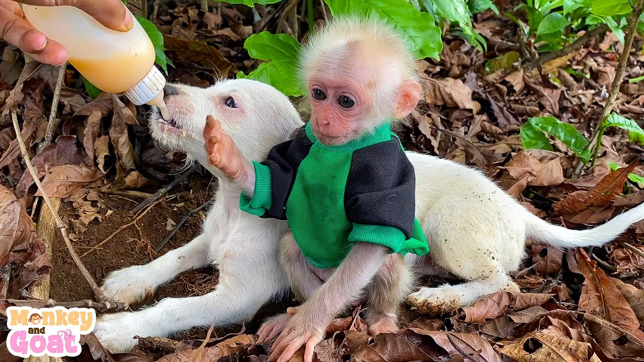 Cute puppies and baby monkey