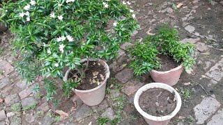 How to grow Little Jasmine in pot from cutting  छोटी चांदनी को कलम से गमले में कैसे उगाएं