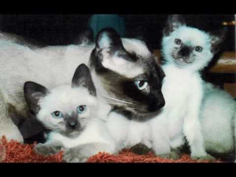 Colorpoint Shorthair Kitten 01