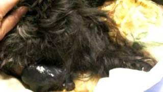 トイプー×パピヨンのMIX犬みゅうくが子犬の出産に挑んでます。初産の...