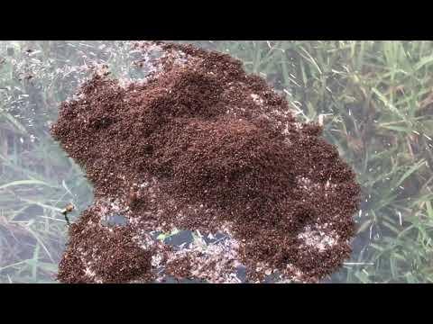Hurricane Harvey floating ant pile
