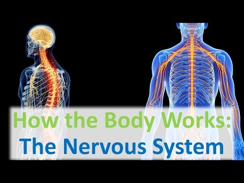 How the Body Works: The Nervous System