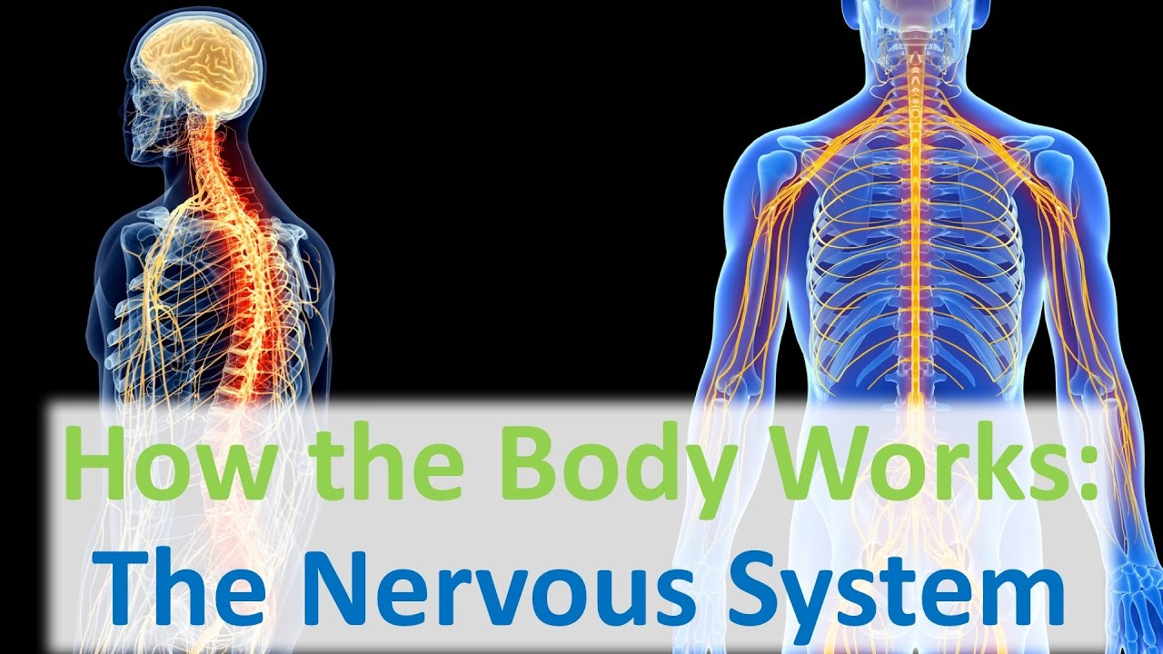 How the body works the nervous system youtube ccuart Images