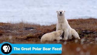 THE GREAT POLAR BEAR FEAST | Preview | PBS