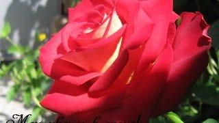 Цветы в моём саду в июне! Молдова.(Украсить сад многолетниками и многолетниками можно без фитодизайнера! В июне сад расцветает! Начали цвест..., 2016-06-13T08:06:29.000Z)