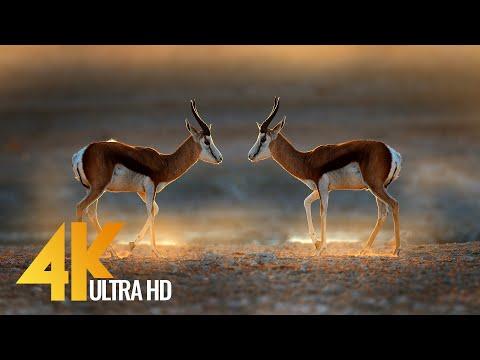 African Springboks 4K