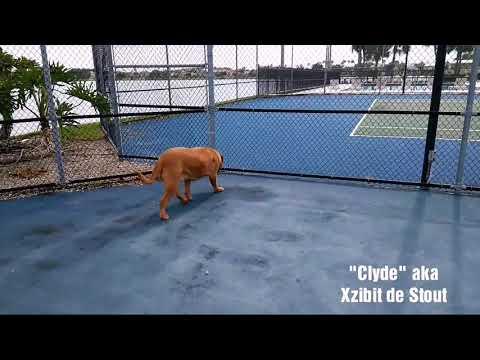 "Xzibit de Stout aka ""Clyde"", 3 yr old French Mastiff"