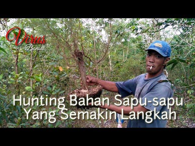 Hunting Bakalan Bonsai Sapu-sapu