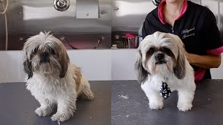 Older Shih Tzu Found On The Streets Gets A Transformation And A New Home