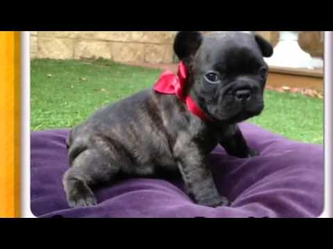 French bulldog (Frenchie) Puppies in Perth Western Australia