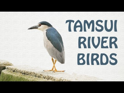 TAMSUI RIVER BIRDS, they like RIVER JUNK SURFING (淡水河鳥)