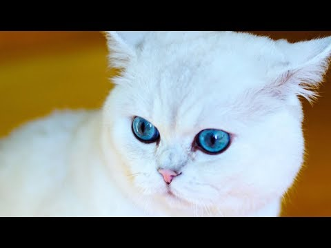 White Chubby British Shorthair Cat You Wish To Cuddle