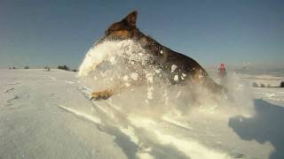 German Shepherd And Giant Schnauzer Great Run In The Snow