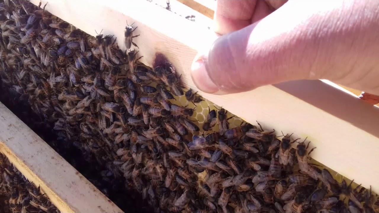 مسك أول طرد نحل كبير في سنة 2020 و اليكم طريقة تسكينه في الصندوق صيد النحل المهاجر Youtube