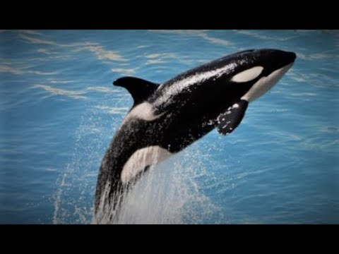 Orca (Killer Whale) as a Totem: Personality Characteristics and Life-Path Challenges