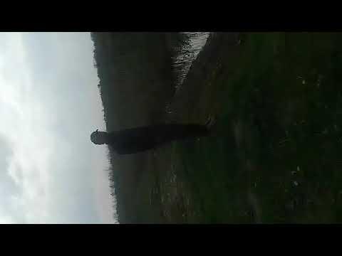 Қурбақ гояк