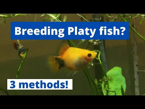 HOW TO BREED PLATY FISH (3 Methods Of Breeding Platy) Xiphophorus Maculatus