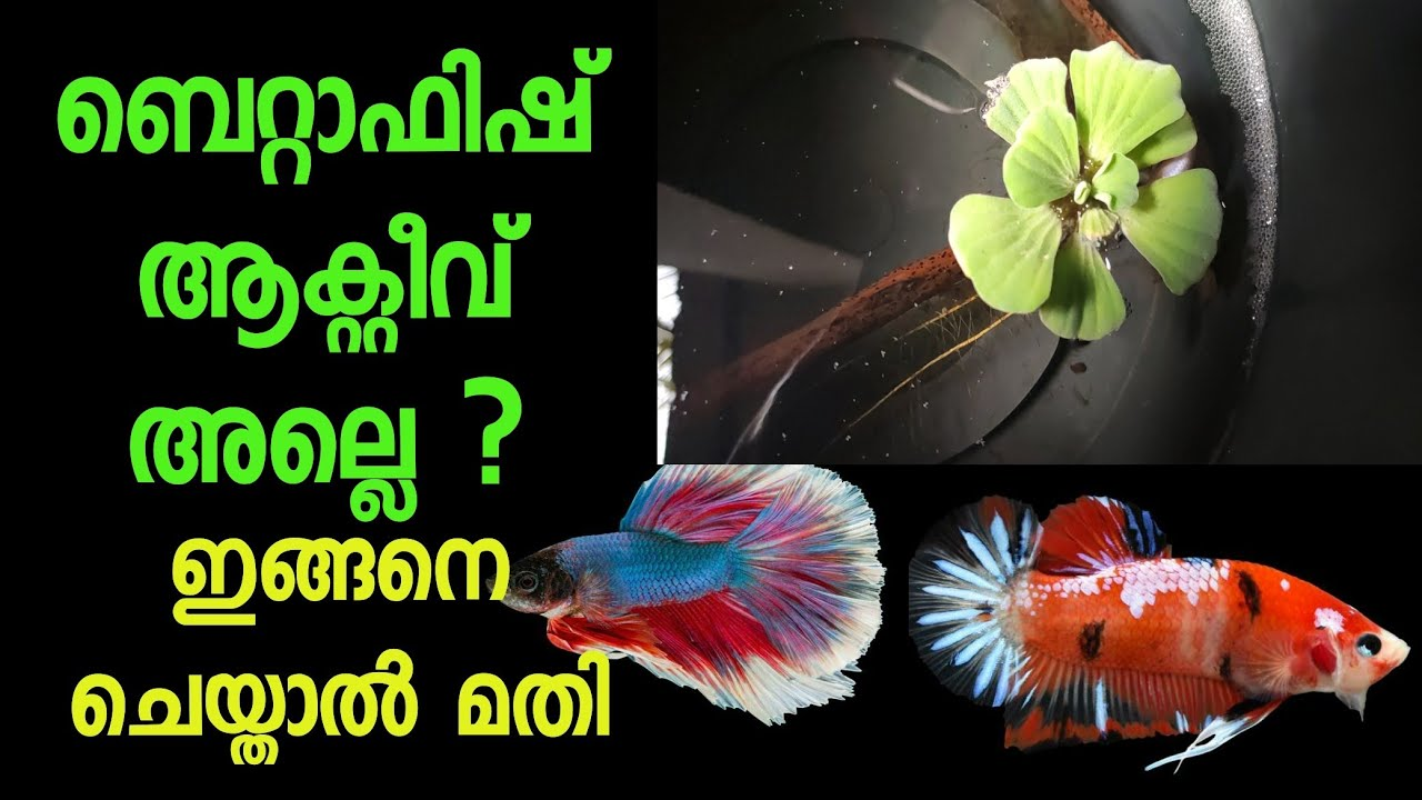 how to increase betta fish activeness   nikhil n s