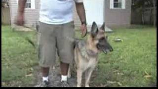 Dog Training & Ownership : How To Train A German Shepherd