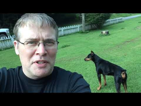 Breeding Doberman Pinschers Kruz and Luna make puppies