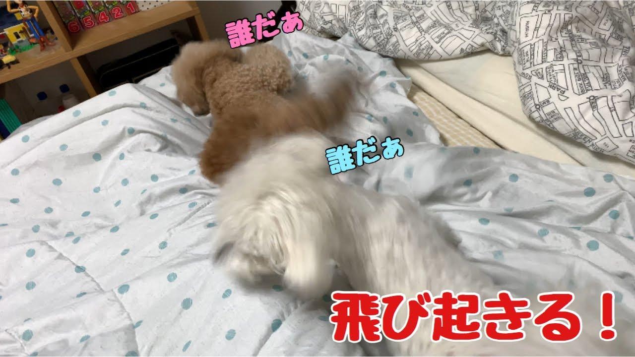 寝ている犬が不審な足音で飛び起きる瞬間! トイプードル /マルプー