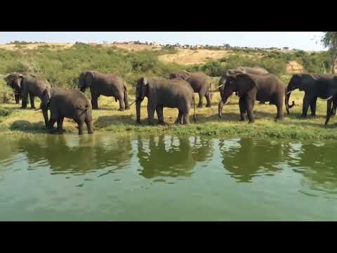 African Elephants | Facts about Elephants | Elephants in the Wild | Elephants behavior