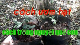 Cách ươm hạt nguyệt quế|Cách trồng cây nguyệt quế con|NQVMV/kỷ thuật dáng.