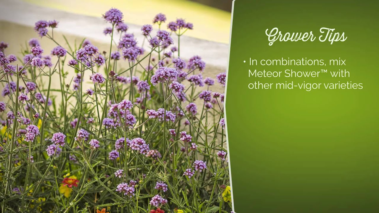 Meteor Shower Verbena From Proven