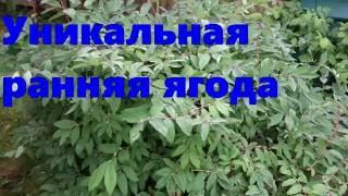Жимолость-ранняя ягода (55 05.06.16)