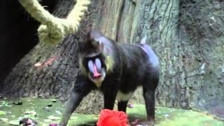 Hamadryad in the Moscow Zoo / Гамадрил в Московском Зоопарке