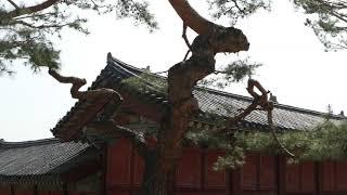 세계 문화유산 창덕궁, 창경궁 코로나 극복 걷기