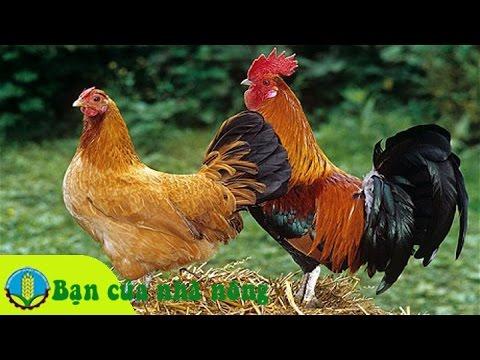 Kinh nghiệm xây dựng mô hình nuôi gà thả vườn an toàn
