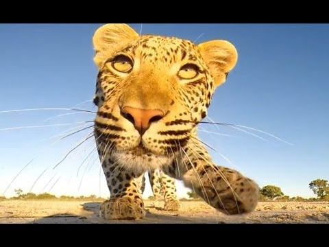 Leopard Meets GoPro! - Latest Wildlife Sightings