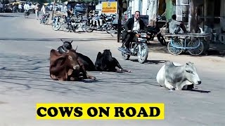 Holy Cows Relaxing Lalitpur India