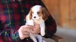 Cavalier King Charles cinsi köpekler nasıl eğitilir?