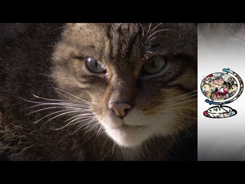 Reintroducing Endangered Wildcats Into Scotland