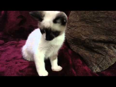 Introducing Teddy and Javier, snowshoe Siamese kittens