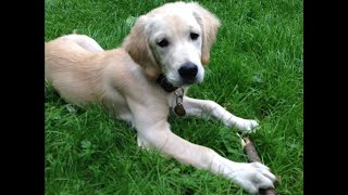 Дрессировка щенка. Щенок 4 месяца золотистый ретривер впервые у тренера.