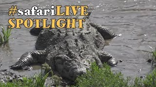 safariLIVE takes a dip with the formidable Nile crocodile! thumbnail