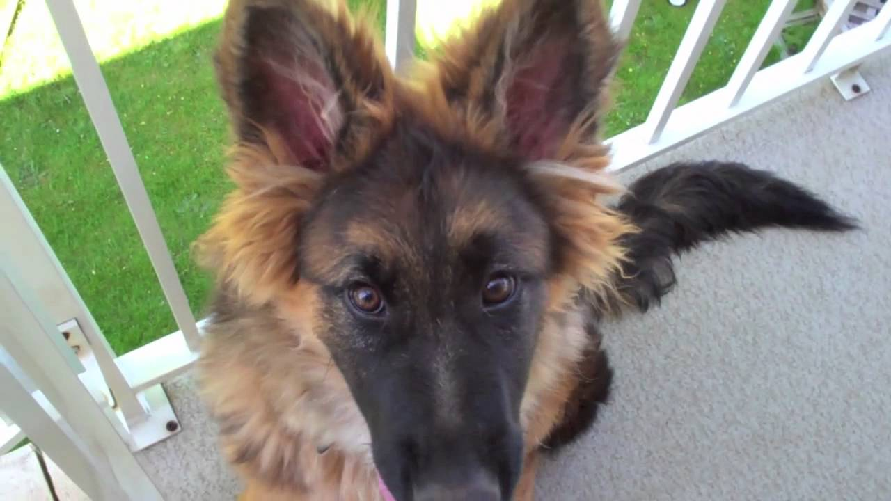 German Shepherd Puppy 5 Months Old-Long Haired Thor Loves Biting