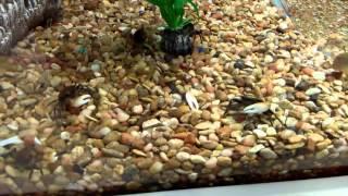 Walmart fish abuse: betta  fish rescue