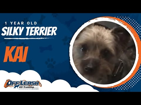 1 year old silky terrier, Kai | Small Breed Training | OffLeash K9 Training